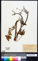 Image of Ranunculus bongardii