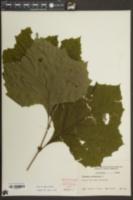 Platanus occidentalis image