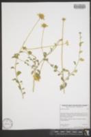 Image of Encelia actoni