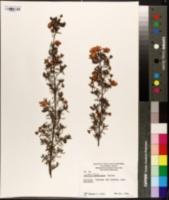 Image of Hibbertia hypericoides