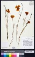 Calochortus luteus image