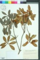 Ternstroemia gymnanthera image