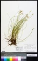 Carex radiata image