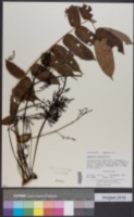 Comocladia pinnatifolia image