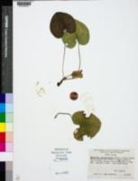 Hexastylis shuttleworthii image