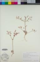 Eriogonum dasyanthemum image