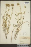 Image of Monardella viridis