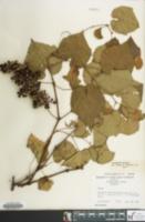 Image of Vitis vulpina