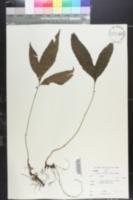 Image of Bolbitis auriculata