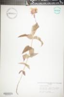 Monarda russeliana image
