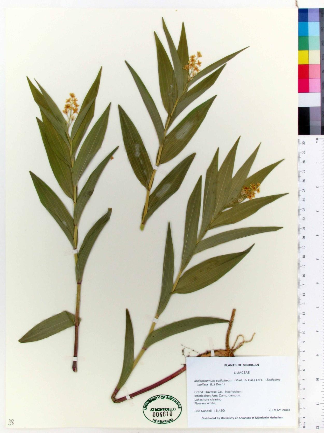 Maianthemum scilloideum image