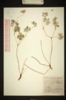 Image of Geranium potentillifolium