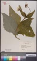 Silphium perfoliatum image