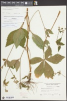 Sanicula canadensis image