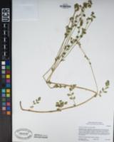 Horkelia clevelandii image