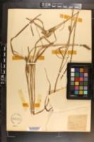 Carex aureolensis image