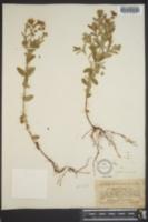 Hypericum ellipticum image