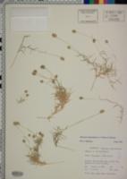 Aeluropus lagopoides image
