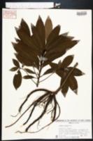 Ardisia crenata image