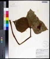 Image of Trillium vaseyi