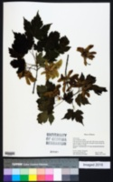 Image of Acer barbinerve