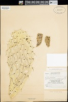 Opuntia amarilla image