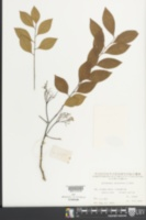 Image of Dalbergia odorifera