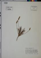 Plantago wrightiana image