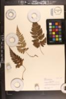 Image of Arachniodes mutica