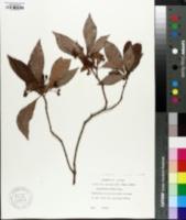 Image of Psychotria undata