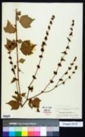 Triumfetta semitriloba image