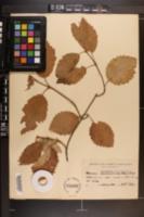 Image of Viburnum semitomentosum