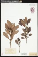 Image of Morella inodora