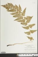 Image of Dryopteris x boottii
