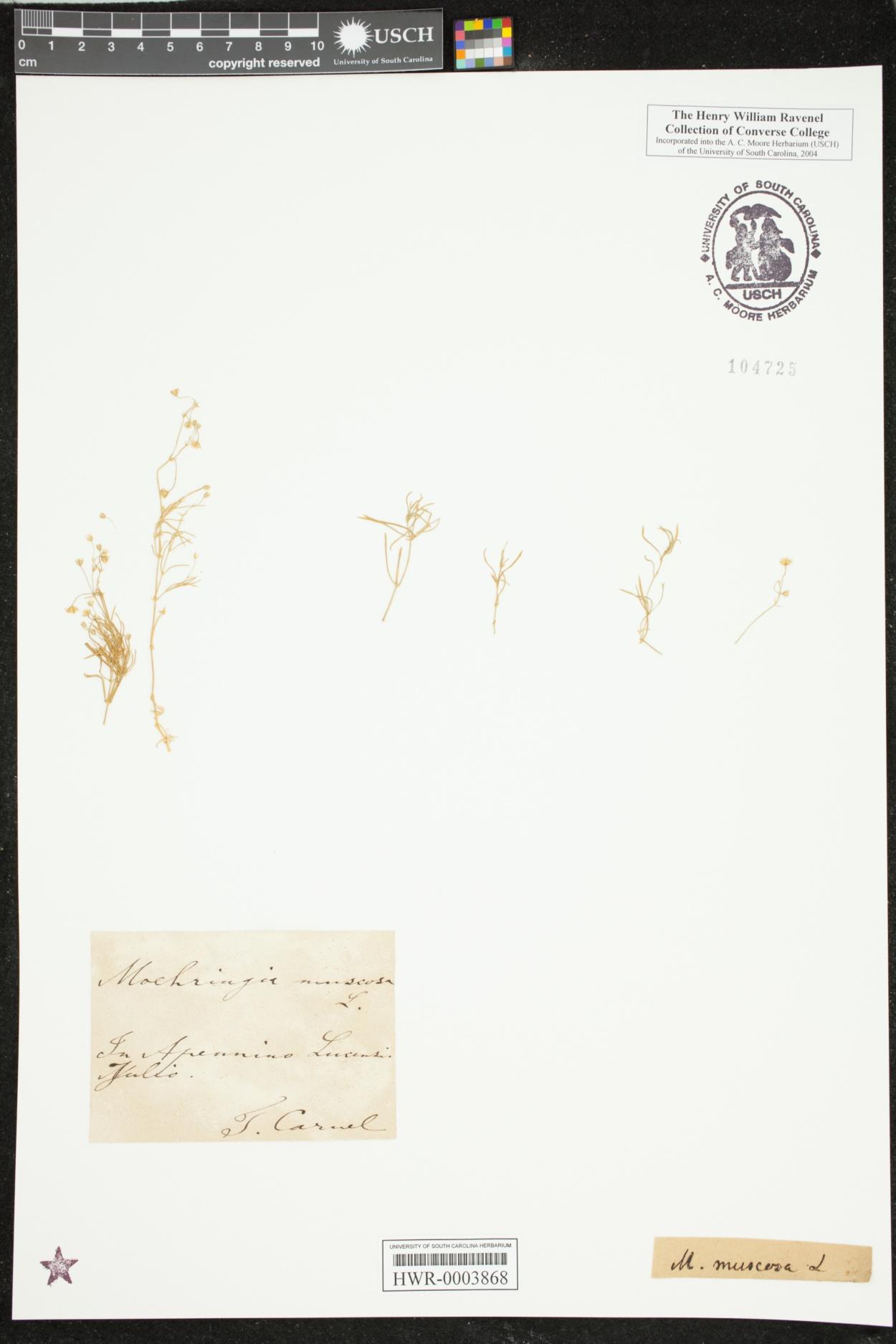 Moehringia muscosa