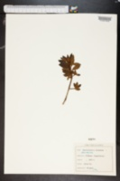 Image of Rhododendron hirsutum
