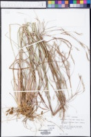 Andropogon divergens image