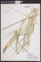 Eleusine kigeziensis image