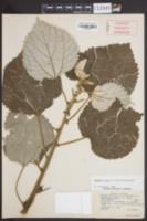 Image of Boehmeria nivea