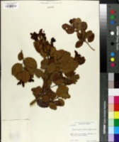 Image of Krugiodendron ferreum