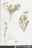 Image of Euphorbia berteroana