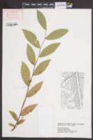 Ulmus alata image