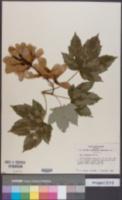 Image of Acer caudatum