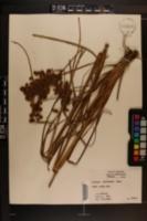 Image of Scirpus rubricosus