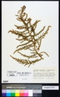 Image of Chenopodium multifidum