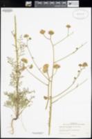 Image of Chaenactis artemisiifolia