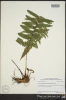 Ctenitis submarginalis image