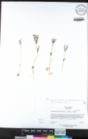 Centaurium tenuiflorum image