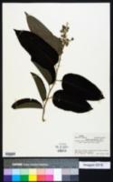 Image of Banara guianensis