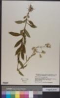 Erechtites hieraciifolius image